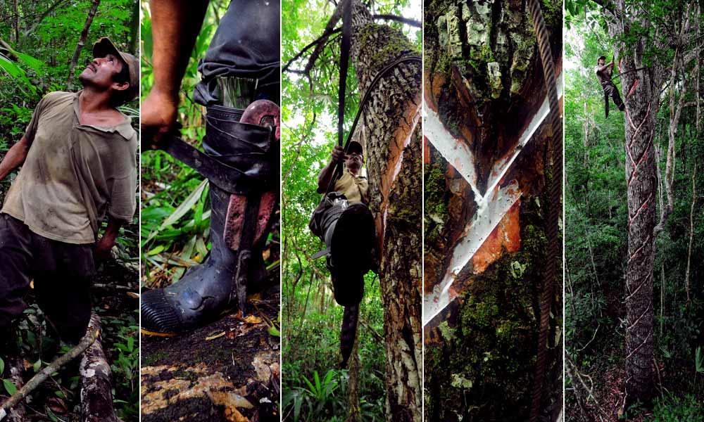Chiclero extrae savia del blanco látex del árbol de Chicozapote
